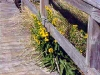 Boardwalk and Yellow Dune Flowers, Avalon, N.J.
