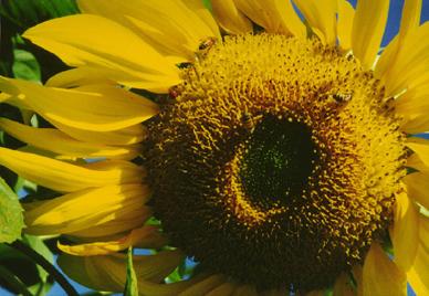Sunflower and Honeybee, Naples, Fla.