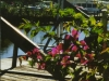 Bougainvillea View from my apartment on Henderson Creek, Naples, Fla.