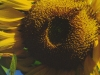 Sunflower, Naples, Fla.