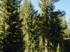 Dog Sled Adventures - Trees - Mammoth Lakes, Calif.