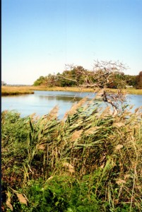 Cattails among the Phragmites