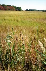Cattails in the Blackbird marsh