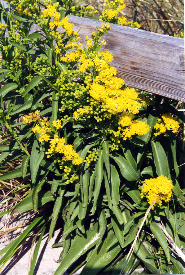 Avalon Yellow Flowers 95