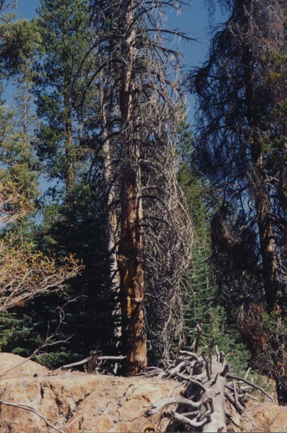 Dead Lodgepole & Minaret Vista