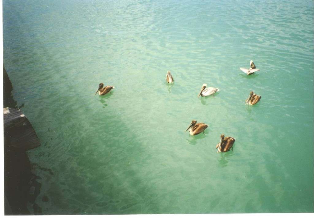 Pelicans at Naples Pier